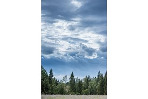 Christmas tree farm with spruce and fir trees. Summer spring landscape over dramatic sky cloud