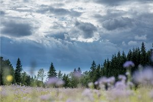 Christmas tree farm forest woods with spruce and fir trees and blurred flower field. Summer spring landscape over dramatic sky cloud