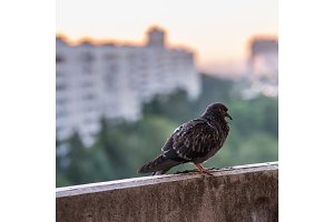 sick pigeon is sitting on the concrete balcone on the city blurred background with buildings and green forest
