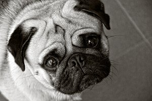 pug dog in black and white