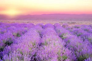 Beautiful image of lavender