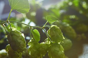 Ripe Hop cones on bush with green leaves