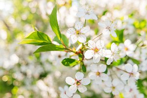 Blooming cherry tree flowers