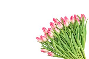 Fresh spring pink tulip flowers
