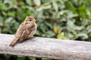 sparrow on wooden handrail