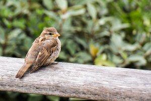 sparrow on wooden handrail