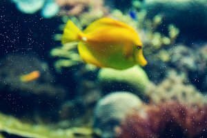 Yellow fish in Red Sea, unfocused