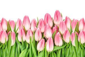 Tulip flowers banner