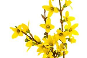 Forsythia flowers isolated JPG
