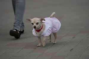 Little dog on walk