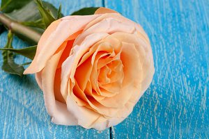 fresh beige rose on a blue wooden background