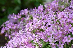 Oxalis Flowers in Pink
