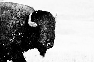 Staredown from Large Buffalo Bison