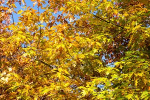 Autumn maple, oak tree with yellow leaves against blue sky on the background. Selective focus.