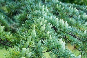 Green pine tree cones, buds surrounded by green branches with spikes. Close-up shot with selective focus