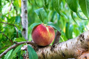 Ripe beautiful peach