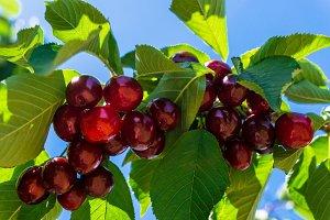Beautiful cherries on a tree
