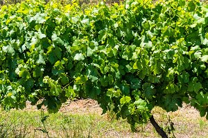 Australian vineyard farm