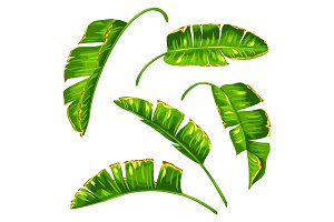 Set of banana palm leaves. Decorative tropical foliage
