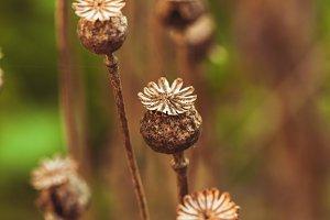 Dry poppy plant