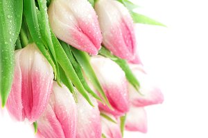 Spring tulip flowers water drops