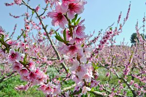 Apricot tree flowers