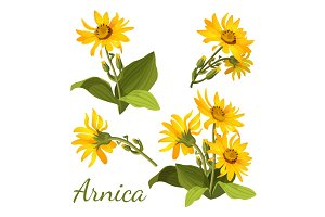 Arnica floral composition. Set of flowers with leaves, buds and branches.