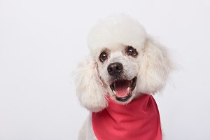 Headshot of white cute poodle