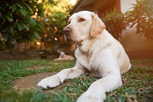Healthy labrador