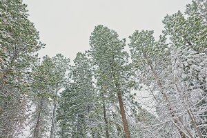 Light Dusting of Snow on Pine Trees