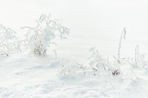 Hoar Frost covered Plants