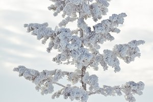 Hoar Frost Covered Pine Tree