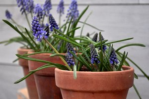 Violet flowers muscari on pots