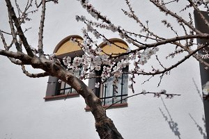Apricot blossom on branches