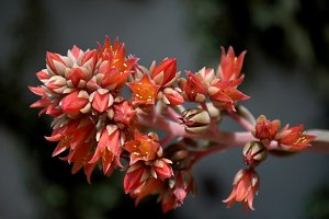red flowers of succulent