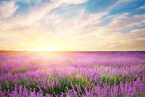 Meadow of lavender