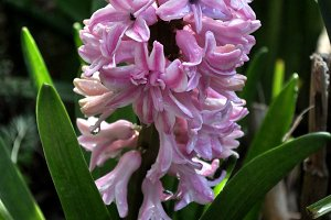 Pink hyacinth in the garden