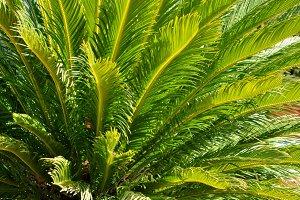 Cyca branches full sun