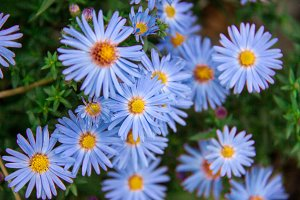Autumn perennial aster blue on a green background