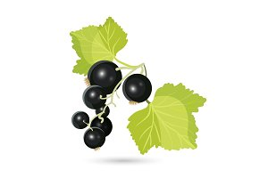Blackcurrant with leaves isolated on white. Piquant berries
