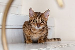Small playful Bengal cat