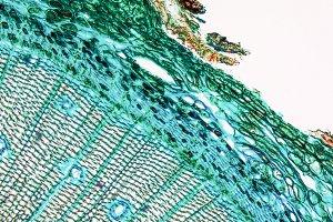 Pine tree cells