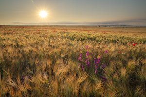 Meadow of wheat on sundown
