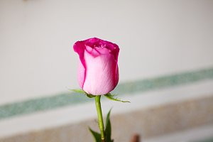 Pink rose put in a glass vase