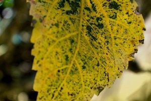 Changing Hibiscus Leaf