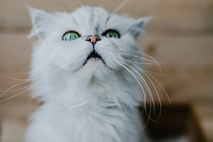 White cat looks up