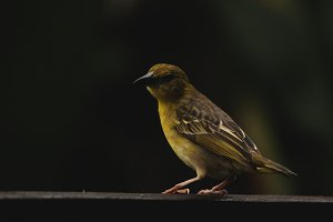 South African Weaver