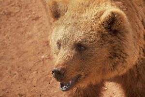Happy smiling Brown Bear