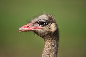 Close up view of an Ostrich