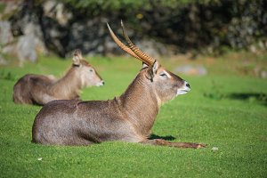 Antelope standing on the grass